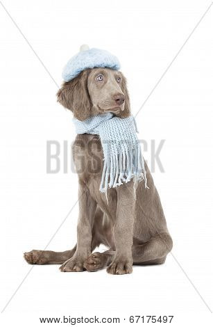 Portrait Of Weimaraner Dog Wearing A Hat And Scarf