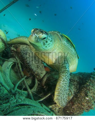 Environmental problem: Sea Turtle lies on old tires and other underwater trash pollution