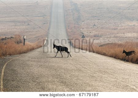 Blesbok Crossing Road