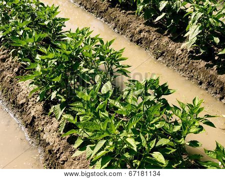 watering sweet peppers bed by irrigation ditch in arid zone