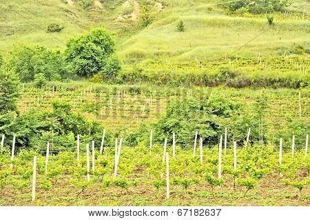 A vine plantation in Ohrid, Macodonia