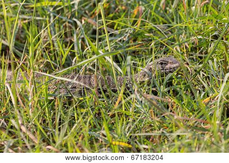 Monitor Lizard camouflaged over weed