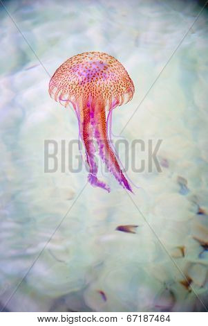 Jellyfish Swimming In A Sea