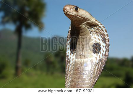 King Cobra Rules
