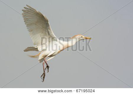 A Cattle Egret (bubulcus Ibis) In Flight