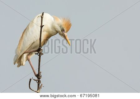 A Cattle Egret (bubulcus Ibis) Looking Down From Its Mangrove Perch