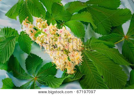 Chestnut Flower With Green Leaves.