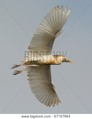 A Scruffy Cattle Egret (bubulcus Ibis) Showing Its Underside In Flight