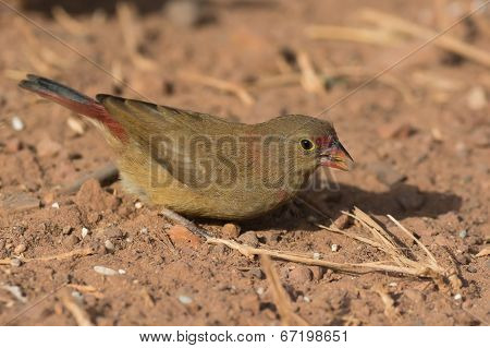 Female Red-billed Firefinch (lagonosticta Senegala) Foraging In The Dirt