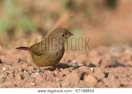 Female Red-billed Firefinch (lagonosticta Senegala) That Has Dropped A Seed