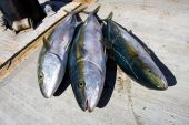 picture of senora  - Fishing off the coast of San Carlos for Yellowtail in the Gulf of California in Senora Mexico - JPG