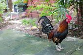 stock photo of bantams  - Bantam - JPG