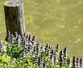stock photo of nettle  - Flowering Dead nettle  - JPG