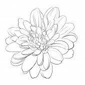picture of chrysanthemum  - Chrysanthemum flower on white background - JPG