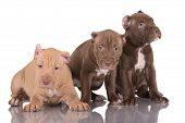 image of pit-bull  - pit bull terrier puppies with cropped ears - JPG