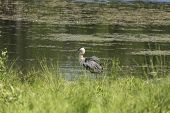picture of bluegill  - A Great Blue Heron in a lake - JPG