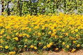 pic of marigold  - Marigolds  - JPG