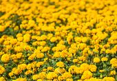foto of marigold  - Marigolds  - JPG