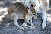 pic of wallaby  - A close up shot of an Australian Wallaby - JPG