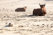 stock photo of sea cow  - A concept showing nguni cows loafing on a warm ideallic sunny seaside shoreline with a blue ocean and sky background - JPG