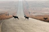 picture of tar  - A few silhouetted blesbok native to southern africa crossing a tarred road in an isolated warm dry grassland and mountainous setting - JPG