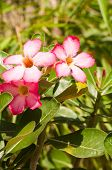 stock photo of desert-rose  - Pink desert rose flowers in the sunshine - JPG