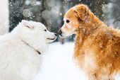stock photo of siberian husky  - beautiful red and white husky retriever in the snow in winter - JPG