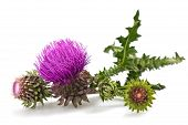 picture of cardo  - thistles flower and bud isolated on white