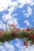 picture of climbing roses  - Rose Arch In the Garden and Blue Sky - JPG