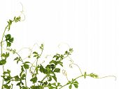 pic of climber plant  - A climber plant for document back ground - JPG