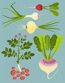 foto of rutabaga  - Vegetable gardening and cooking illustration - JPG