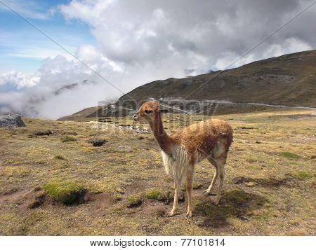 Lama At Huancayo