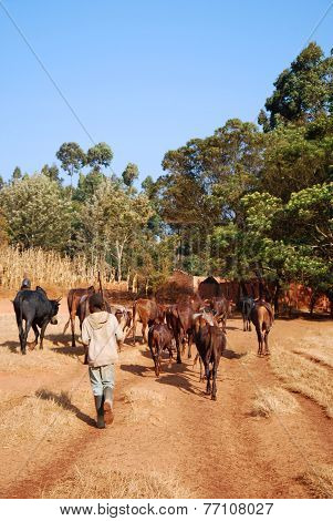 African Herders Bring Small Herds Of Cows Grazing-tanzania-africa