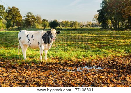 Young black and white cow in natural dutch landscape.Sunset late afternoon in fall