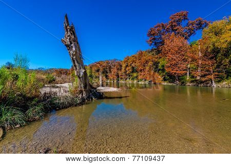 Interesting Tree with Brilliant Fall Foliage on the Guadalupe River in Texas