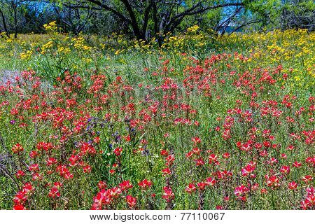 Bright Blue Texas Bluebonnet, Yellow Wildflowers, and Bright Orange Indian Paintbrush
