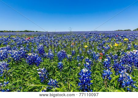 A Closeup View Of A Beautiful Field Blanketed With The Famous Texas Bluebonnet (lupinus Texensis)