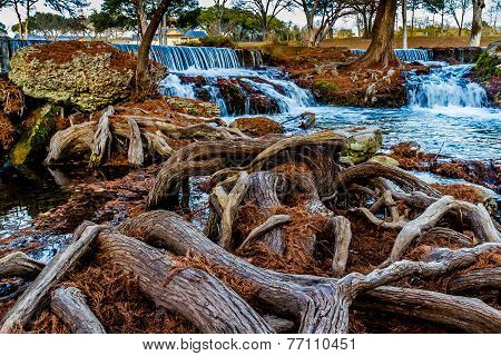 Giant Gnarly Roots of Bald Cypress Trees in Texas