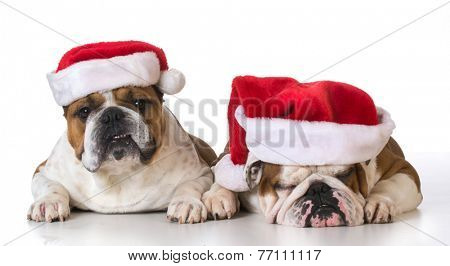 dog santa - english bulldogs wearing santa hats on white background