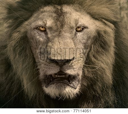 Close Up Face Of Male Lion Dangerous African Safari Animals King Of Wilderness In Swanna Field