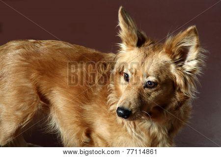 Italian Mongrel Dog 2474