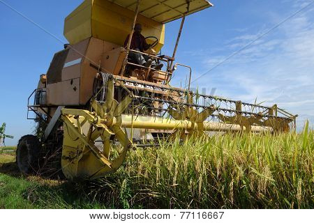 Harvesting Ripe Rice On Paddy Field