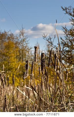 Bullrushes On A Nice Sunny Afternoon
