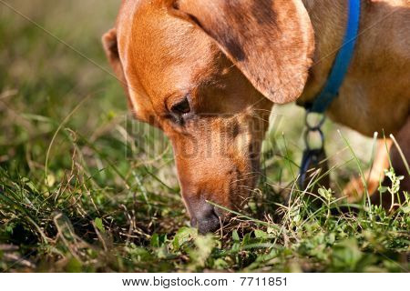 Closeup Of Miniature Dachshund Sniffing Grass