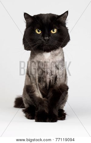 Shaved Black Cat