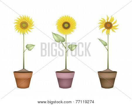 Lovely Sunflower in Ceramic Flower Pots