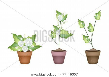 Three Jasmine Flower in Ceramic Flower Pot