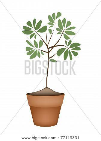 Beautiful Green Tree in Ceramic Flower Pots