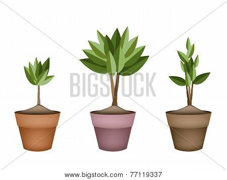 Evergreen Trees and Plants in Ceramic Flower Pots
