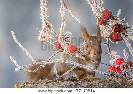 Squirrel Between Brier